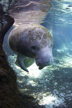 crystal manatee Photo by Emma Smith -- National Geographic Your Shot Beautiful Creatures, Animals Beautiful, Cute Animals, National Geographic Animals, Sea Cow, Florida, Underwater Life, Animals Of The World, Marine Life