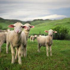 Little baby lambs.