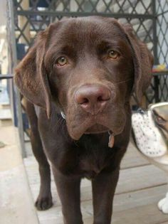 Beautiful Chocolate Lab