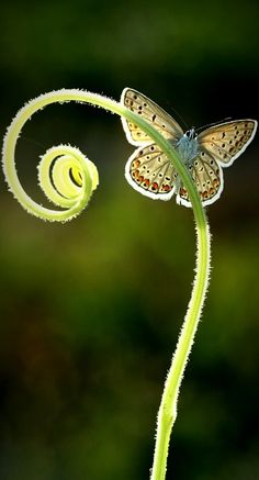 Moth on fern tendril Beautiful Bugs, Beautiful Butterflies, Amazing Nature, Beautiful World, Beautiful Flowers, Naturally Beautiful, Real Flowers, Papillon Butterfly, Butterfly Kisses
