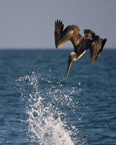 Awesome photo:   pelican - saw pelicans fishing like this off of Galveston beach and off Hilton Head Island in the same month
