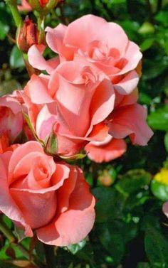 Eine Rose in einer nicht alltäglichen Farbe - wunderschön!