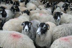 Sheep - North Yorksh