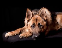 Loyal Dog - Great expression of one of most loyal dogs.