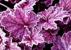 Gardening Autumn - Midnight Bayou - Frosty - click image to go to website - With the arrival of rains and falling temperatures autumn is a perfect opportunity to make new plantations Buy Plants, Shade Plants, Garden Plants, Coral Bells Heuchera, Coral Bells Plant, Herbaceous Border, Plantar, My Secret Garden, Outdoor Plants
