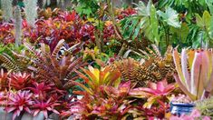 Helpful Guidelines In Growing Indoor Bonsai Trees Garden Of The Week: A Dazzling Bromeliad-Rich Oasis Stuff. Garden Trees, Landscaping With Rocks, Bromeliads Garden, Tropical Garden Design, Bromeliads Landscaping, Bromeliads, Rose Garden Landscape, Tropical Landscaping, Garden