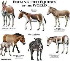 Endangered Equines of the World....ROGER D HALL.....a scientific illustrator specializing in wildlife and architectural subjects....predominantly self-taught....works with pen and ink....artwork has appeared in numerous media (newspaper, books, website, etc)....a Minnesota native now based in Oakland, California....associated with several zoos and aquariums in the US