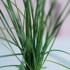 11 Herbs - How to grow and their culinary uses.