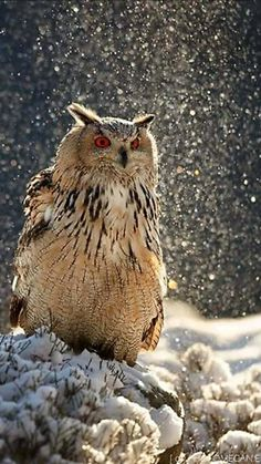 Owl in the snow Owl Photos, Owl Pictures, Beautiful Owl, Animals Beautiful, Owl Bird, Pet Birds, Animals And Pets, Cute Animals, Owl Always Love You