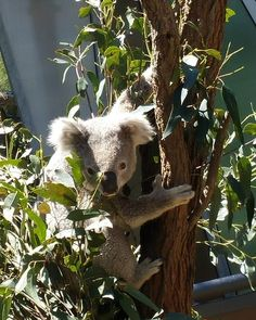 It is first time to see koalas awake!!!