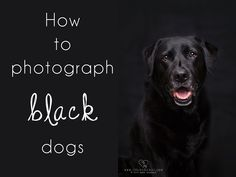 Being the owner of a black Labrador for the past 9 and a half years, photographing a black dog is a subject I know a thing or two about. I am even clever enough to photograph my black dog on a black background just to be a massive show off! Pet Photography Tips, Photography Lessons, Animal Photography, Scenery Photography, Digital Photography, Black Dogs, Pet Photographer, Black Labrador, Dog Photos
