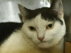 ***TO BE DESTROYED 04/07/16*** DELIGHTFUL DELANCEY WAS ABANDONED AT THE ACC AFTER HER ELDERLY OWNER DIED - NOW SHE HAS A COLD AND THE ACC IS PLANNING TO KILL HER ON THURSDAY AFTERNOON! DELANCEY was abandoned at the shelter by someone who said her elderly owner passed away. No other info was given for her but we do know she was someone's loving pet. DELANCEY is about 7 years old and nervous in the shelter environment, however the staff noted that she just needs some TLC and love to come out…