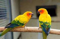 Pair of sun conures