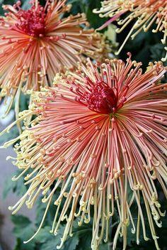 Wow quelle fleur, chrysanthème