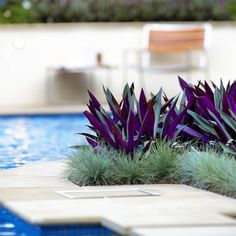 Pool side planting of Rhoeo's and Blue Fescue working well against the limestone pool coping Garden Care, Garden Pool, Tropical Garden, Tropical Plants, Purple Plants, Plants Around Pool, Pool Plants, Pool Landscape Design, Garden Design