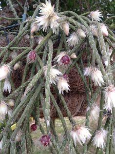 137 Best Kath S Epiphytic Cactus Images Cactus Plants