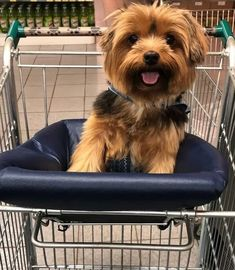Free Puppies For Adoption, Yorkie Puppy For Sale, Yorkie Dogs, Cute Dogs And Puppies, Yorkies, Yorshire Terrier, Terrier Dog Breeds, Bulldog Breeds, Bully Dog