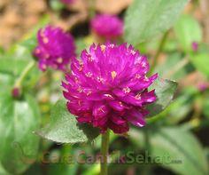 khasiat dan Manfaat Bunga Kenop untuk kesehatan yang mungkin belum anda ketahui