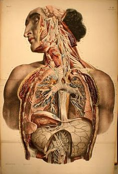 ANATOMY: Vintage Anatomical Illustration of the Upper Body Systemic Circulation. The circulatory system is a vast network of organs and vessels that is responsible for the flow of blood, nutrients, oxygen and other gases, and hormones to and from cells. Without the circulatory system, the body would not be able to fight disease or maintain a stable internal environment — such as proper temperature and pH — known as homeostasis.