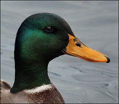 Mallard, Ducks and Duck bill on Pinterest
