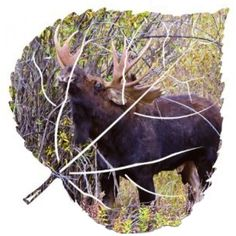 Northern Moose