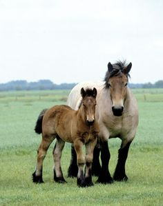 An unusual breed! The Brabant draft horse