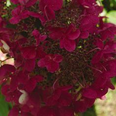 Hortensja bukietowa Wim's Red - Hydrangea paniculata Wim's Red Hydrangea Paniculata, Hydrangea Shrub, Hortensia Hydrangea, Hydrangea Bush, Hydrangea Garden, Garden Shrubs, Flowering Shrubs, Trees And Shrubs, Perennial Bushes
