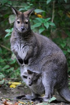 Swamp Wallaby and baby   I have to check it out, what is the difference between a wallaby & kangaroo?