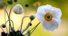 Ανεμώνη Plants, Plant Catalogs, Flowers, Garden