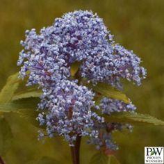 Ceanothus - Marie Bleu™ New Jersey Tea (aka red root)