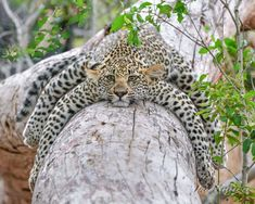 """Suzi Eszterhas Photography : """"Seven-week-old leopard cub nuzzling mother at Wildlife Nature, Nature Animals, Animals And Pets, Baby Animals, Funny Animals, Cute Animals, Wildlife Safari, Nature Nature, Funny Cats"""