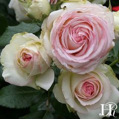Eden™ - gets awesome reviews as a partial shade rose