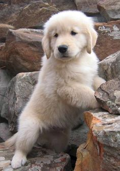 Jack, a golden retriever from Glen Rose, Texas Cute Dogs And Puppies, I Love Dogs, Doggies, Adorable Puppies, Golden Puppy, Puppy Care, Retriever Puppy, Hunting Dogs, Dog Tattoos