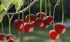 como sembrar cerezas 2
