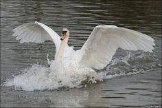 swan landing - Google Search