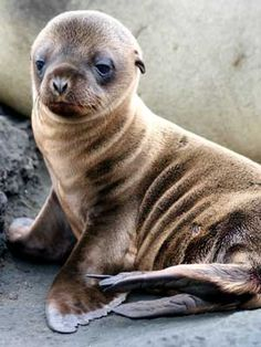 Baby sea lion , I want one. Perfect for a play friend for Riley