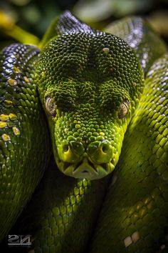 1000+ images about Snake on Pinterest | Snakes, King cobra ...