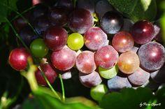 Nuevo post: Lenguaje del #vino: ¿Qué son los sulfitos y cuál es su efecto en el vino? http://www.puracepastyle.es/blog/lenguaje-del-vino-que-son-los-sulfitos-y-cual-es-su-efecto-en-el-vino/    #wine #winelovers #enologia #aprender #conocimientos #bodegas #gourmet