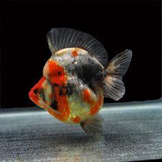 Ryukin Gold Fish 49 Ryukin Goldfish, Goldfish Types, Cool Fish, Freshwater Aquarium Fish, Mundo Animal, Sea World, Roosters, Animal Sculptures, Sea Creatures