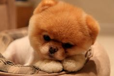 This is Boo the world most famous dog. He has a Facebook account with more than 7 mil fans. He even has a calender, 2 books and a stuff toy published just for him.