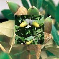 Encina, roble, alsina y alcornoques, son los nombres con que se la conoce a esta planta.