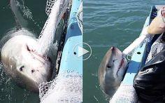 Fisker kæmper mod en Hvid Haj i tovtrækning