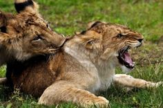 Male And Female Lion In Courtship Game