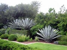 Pflanzen Agave: Wie Agave wachsen Agave is a long leaved succulent plant that naturally forms a rosette shape and produces a flower spire of attractive cup shaped blooms. This article will provide tips on growing agave plants. Agaves, Succulent Landscaping, Backyard Landscaping, Cacti And Succulents, Planting Succulents, Cacti Garden, Succulent Planters, Succulent Arrangements, Hanging Planters