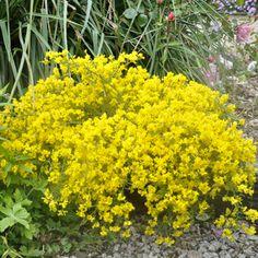 Achat euonymus fortunei 39 emerald 39 n 39 gold 39 fusain jeune for Achat plantes jardin en ligne