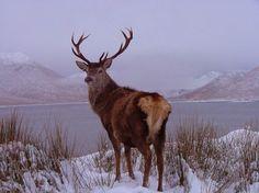Stag, Loch Quoich, Invergarry