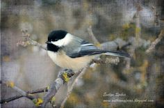 Chickadee by Evelyn Spikes at www.withinmyfocus.blogspot.com