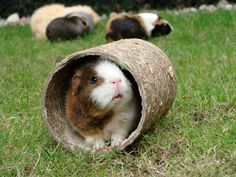 How to Keep Your Guinea Pig Entertained Pets4Homes