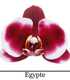 Phalaenopsis Egypte God Of War, Iris, Gift Wedding, Creative Ideas, Gifts, Plants, Flowers, Garten, Irises