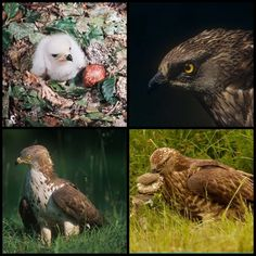 European Honey Buzzard (LC) Buzzard, Raptors, Vulnerability, Owl, Honey, Bird, Animals, Animales, Animaux